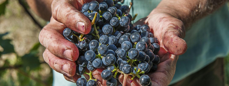 strudzone ręce winiarza trzymające kiść winogron